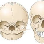 Fetal Skull Anatomy - What's the Difference between Adult Skull and Pediatrics Skull Anatomy?