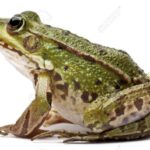 What are the similarities and differences between the frog and human anatomy?